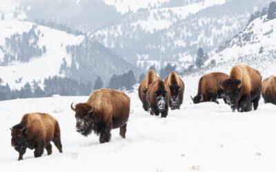 冬のイエローストーン国立公園を訪れる際にすること6項目