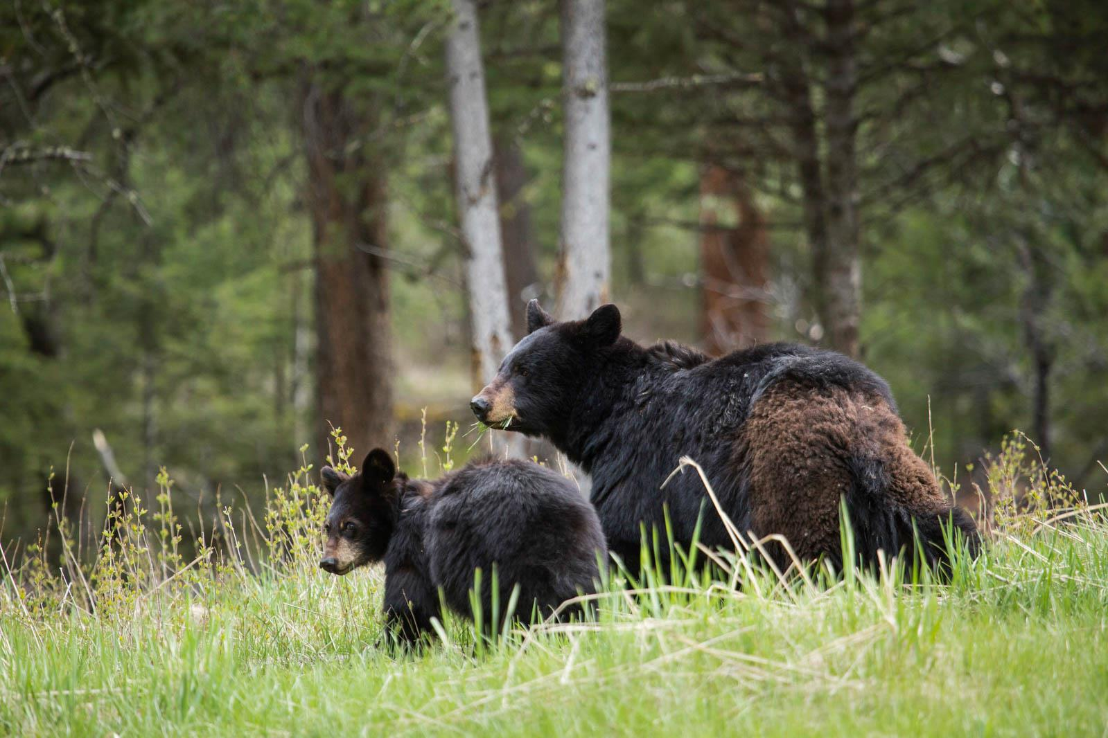 Bears in a national park, showing one of our nature photography tips.