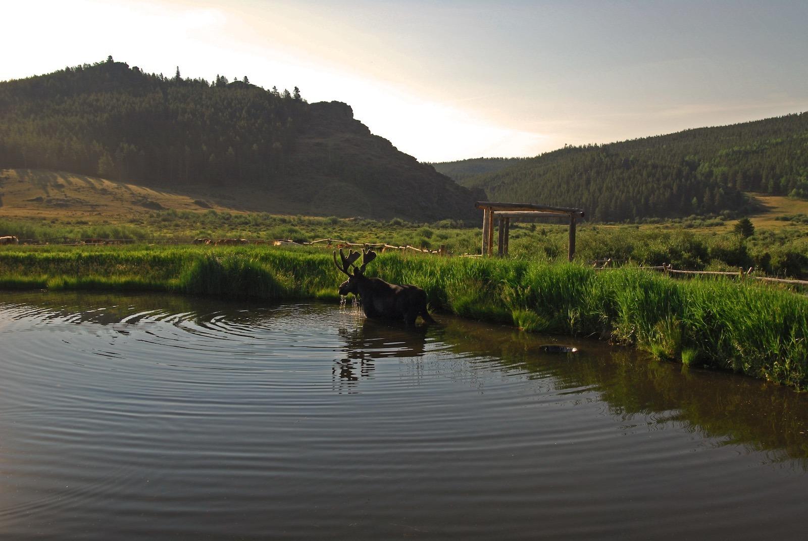Moose at Paradise Guest Ranch