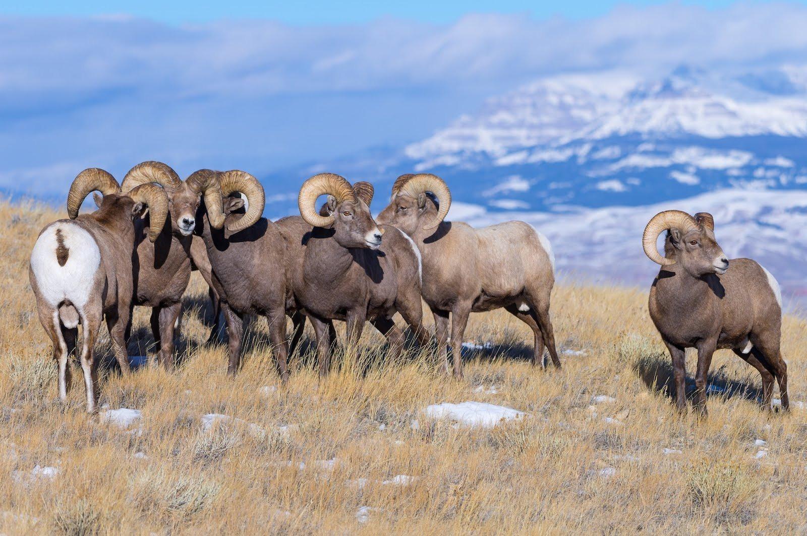 Bighorn Sheep near Dubois, Wyoming and Yellowstone in winter