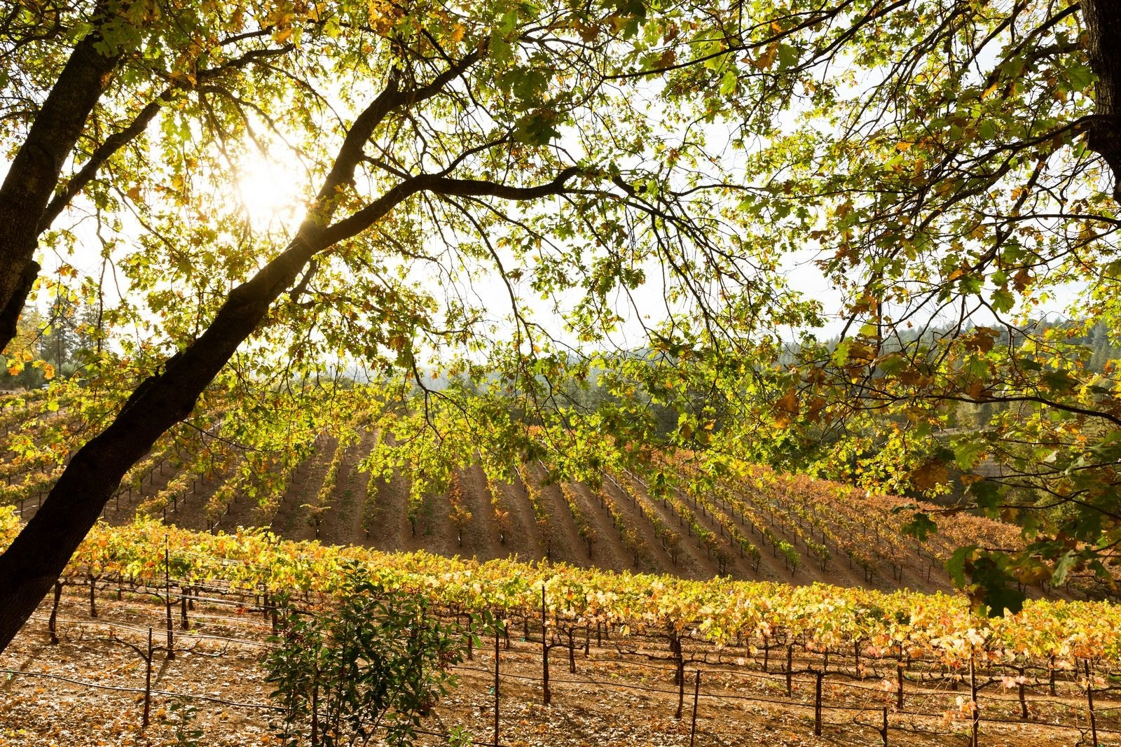 Vineyard in Gold Country, California