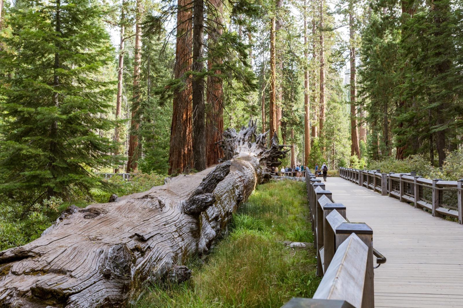 california-high-sierra-madera-yosemite-national-park-mariposa-grove-giant-sequoia-2