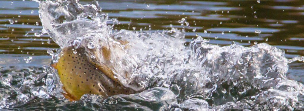 flying-pig-fly-fishing-gardiner-montana-yellowstone-splash