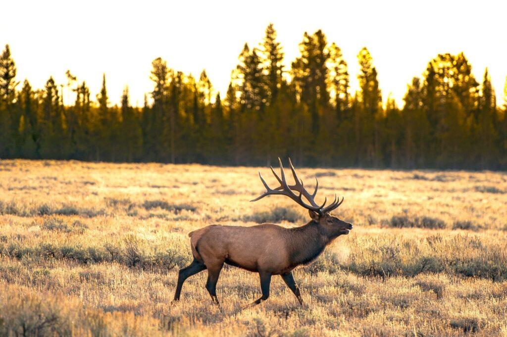 yellowstone-teton-territory-idaho-island-park-elk