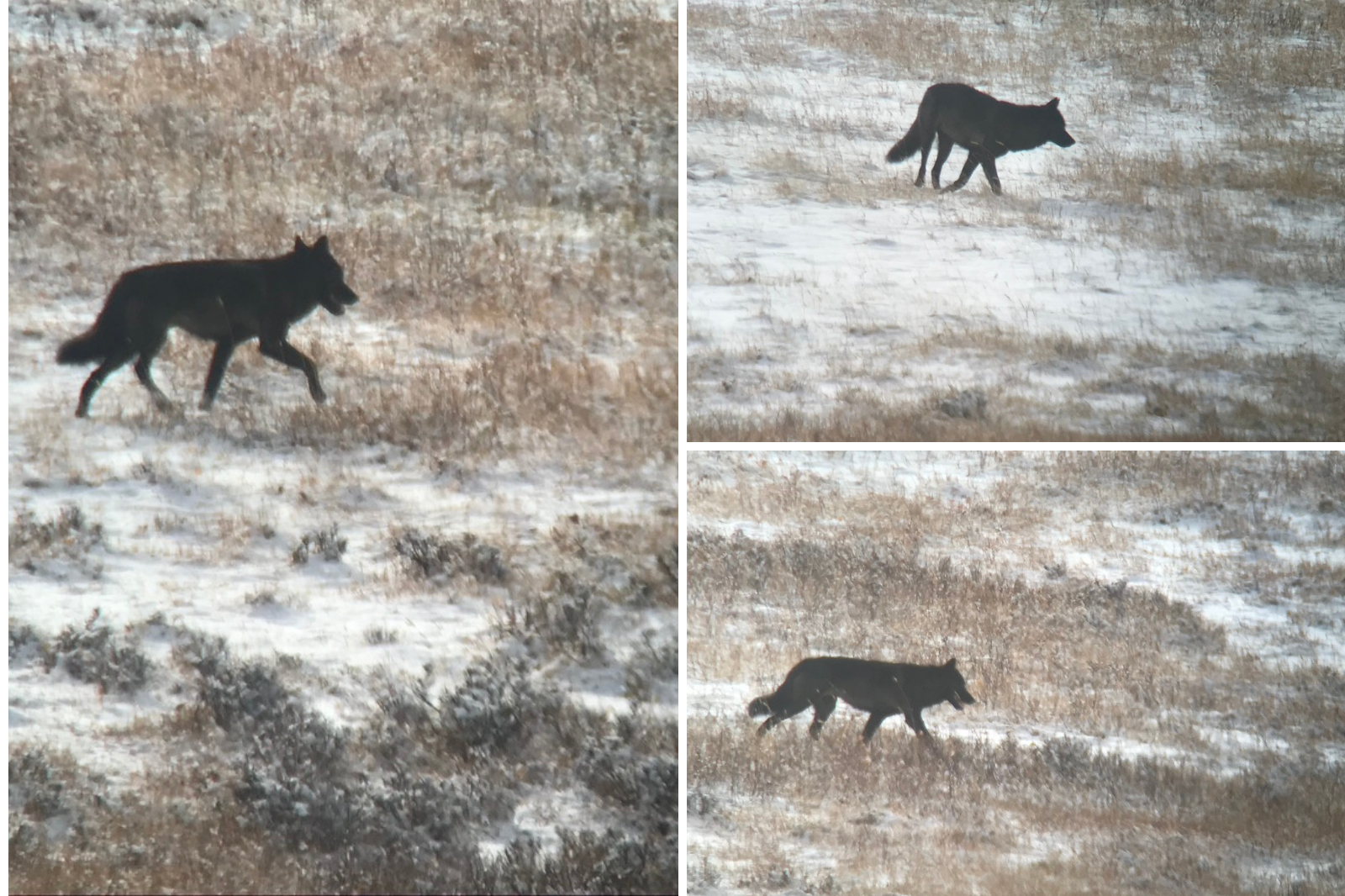 Wolves in Yellowstone, as seen through a scope on a wildlife tour