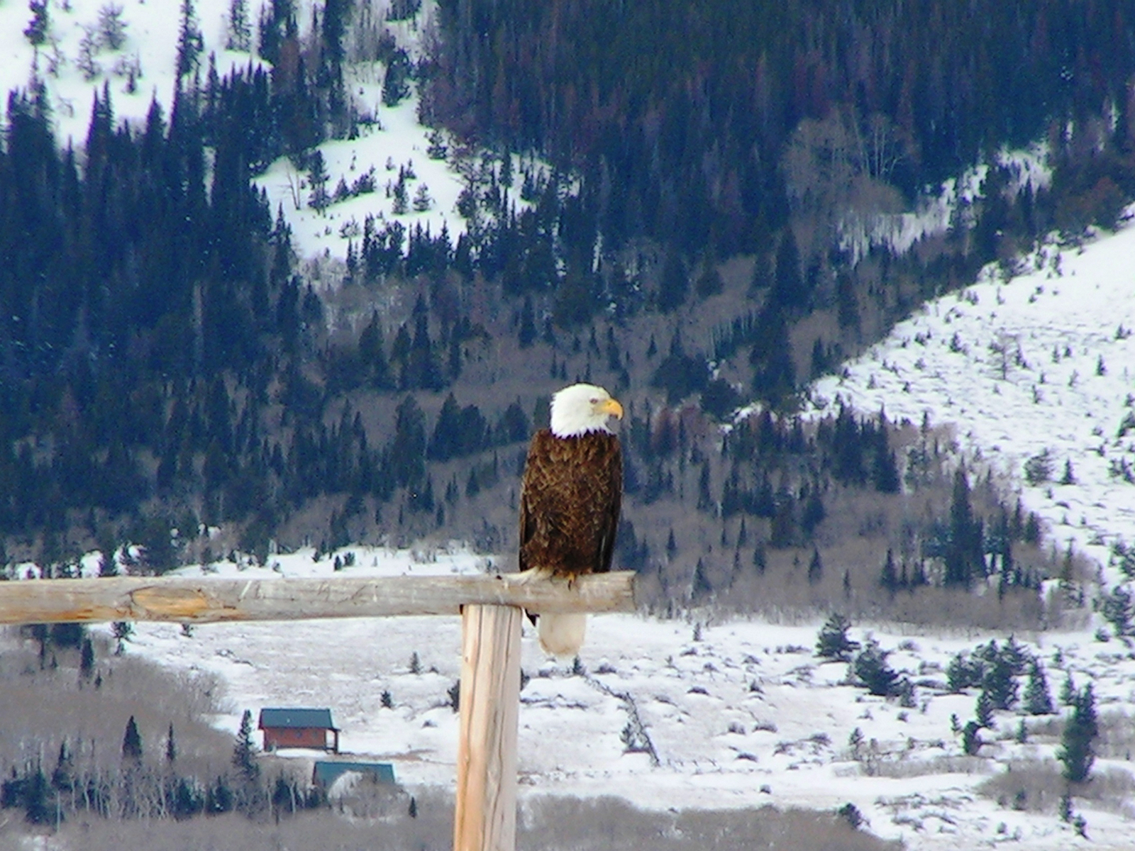 Bald eagle in the winter in Wyoming's Carbon County