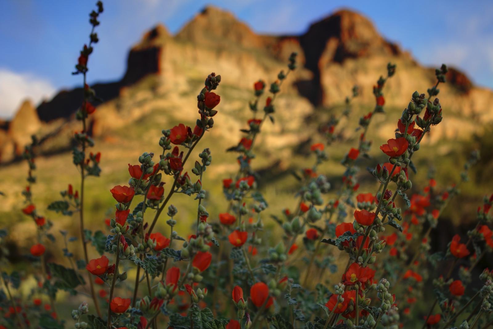 Wildflowers and Picketpost Mountain in Superior, Arizona