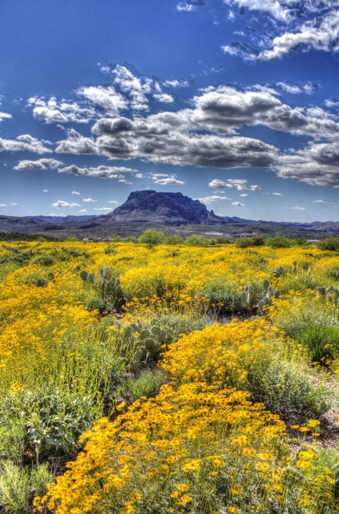 Sea of wildflowers with Picketpost Mountain in background, Superior, Arizona