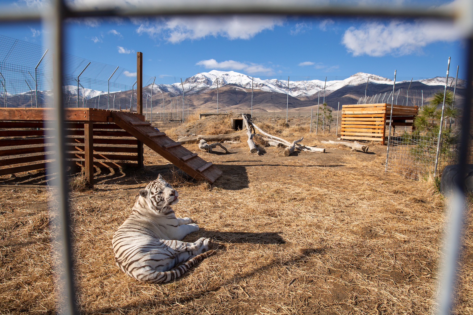 White tiger in wildlife sanctuary of Winnemucca, Cowboy Country, Nevada with mountains in background.