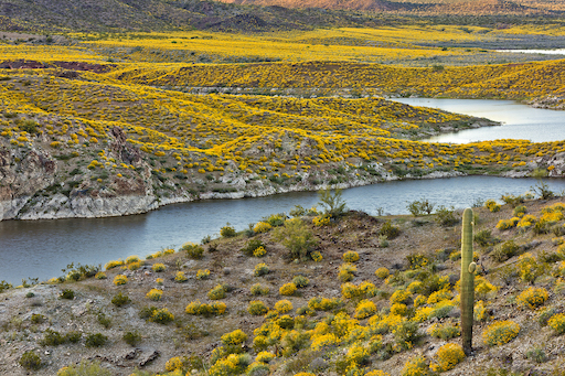 Yellow blooms on shores of Alamo Lake State Park in Arizona