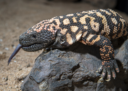 A Gila monster (Heloderma suspectum) sitting on a rock south of Tucson, AZ.  This is one of two poisonous lizards in the United States.  It ranges in parts of California, Arizona, Nevada, Utah, New Mexico, and northwest Mexico.